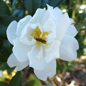 Camellia Winters Waterlily with bee