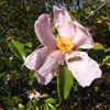 pink camellia_thumbnail