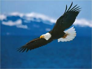 flying_eagle