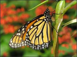 butterfly-wof