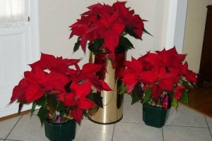 Red_Poinsettas