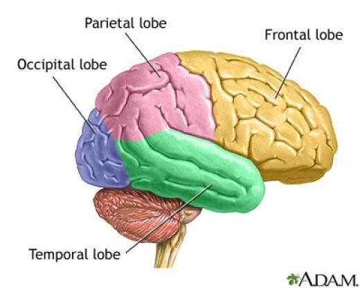 Parietal Lobe for Visual/Spatial Processing | Delightful ...
