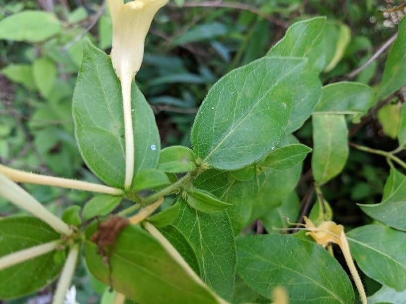 honeysuckle stem health benefits