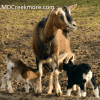 goats-small-homestead