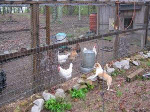 My little dog watching the chickens - funny that the chickens are bigger that she is...