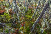 Lichen drapes the branches of hemlock trees growing from the moss covered forest floor in Acadia National Park, Mount Desert Island, Maine.