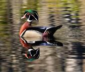 John R Rivers Wood Duck Reflection