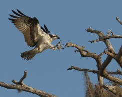 TALONS, Osprey Reaches To Land With Talons Out, Blue Cypress Laake, Vero Beach FL, John R Rivers