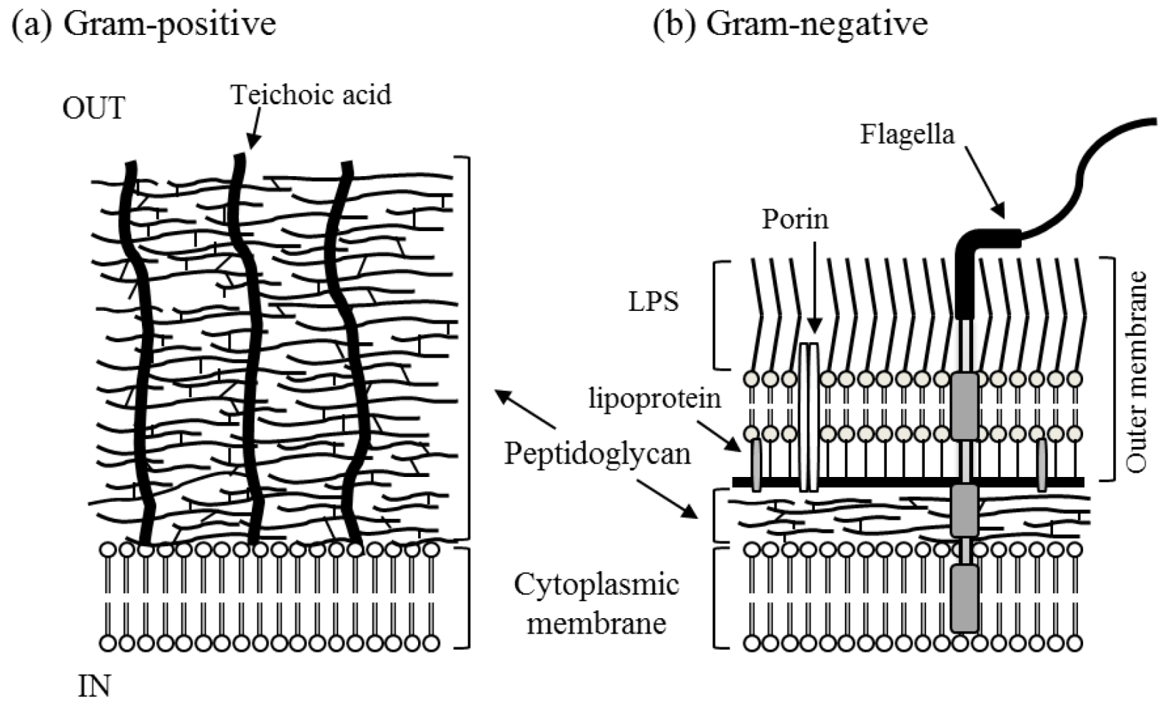 gram positive cell wall diagram pj car trailer wiring catalysts free full text broad spectrum microbicidal