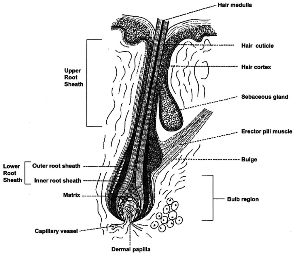 A Diagram Of Ovarian Follicle