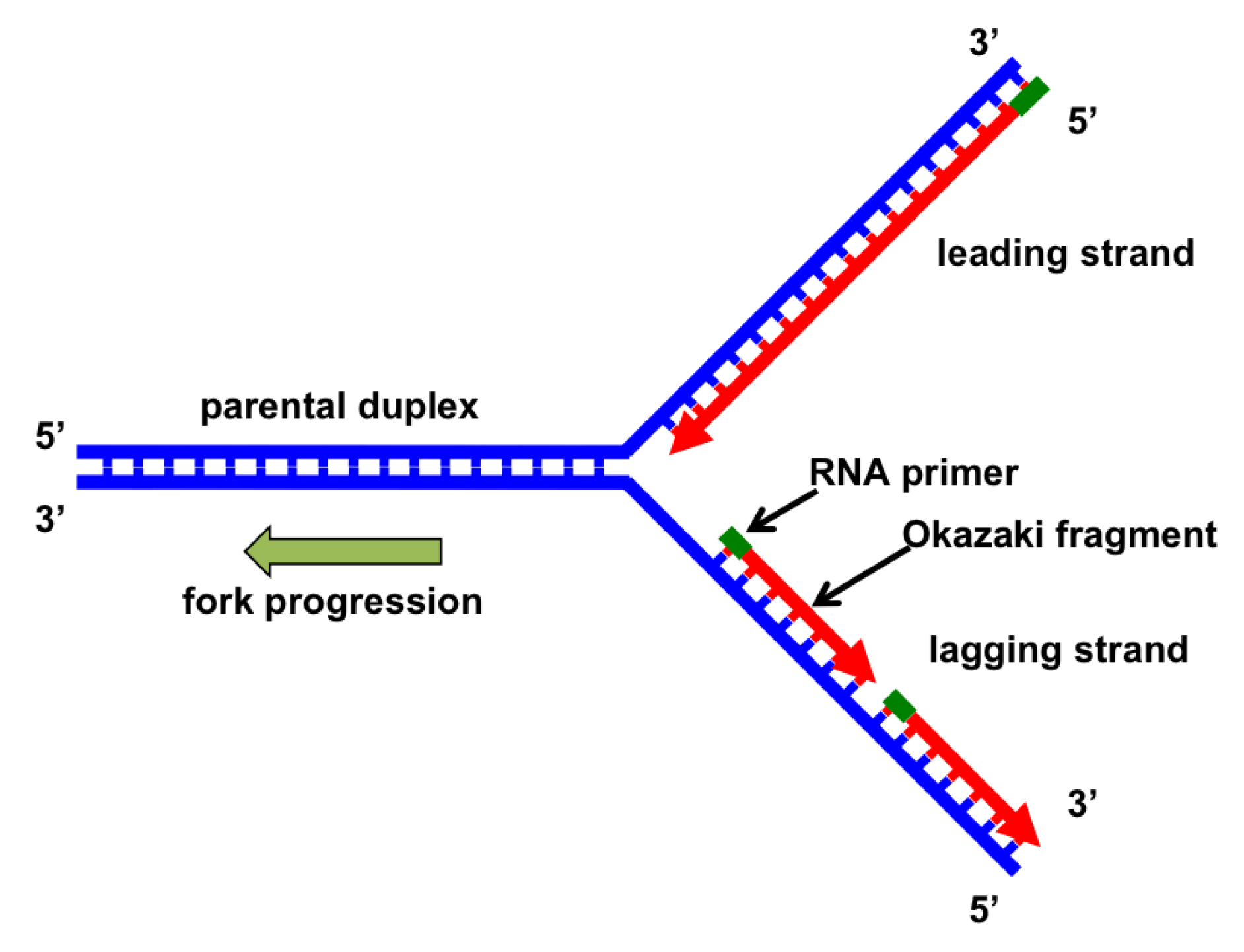 simple diagram of dna replication binocular microscope genes free full text the fork