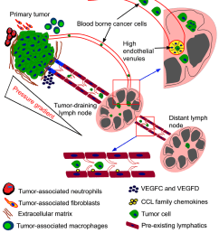 microenvironment of tumor draining lymph nodes opportunities for liposome based targeted therapy [ 1024 x 1180 Pixel ]