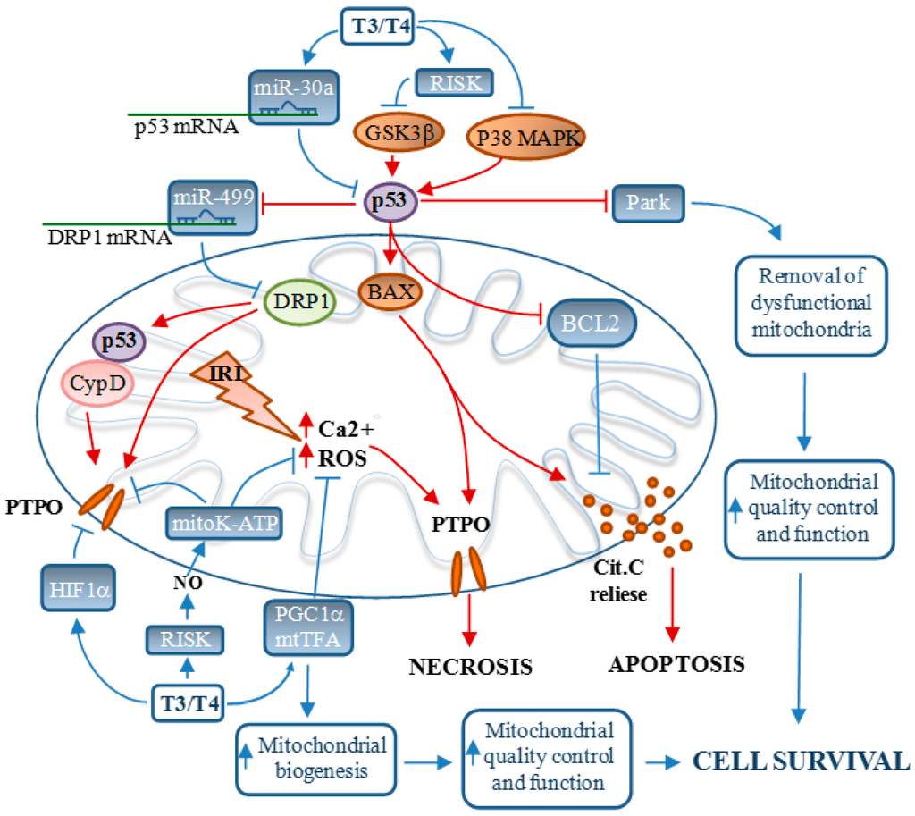 Process Flow Diagram Using Javascript Ijms Free Full Text Mitochondria As Key Targets Of