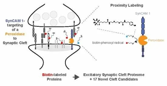 synapse diagram label portable generator manual transfer switch wiring proteomes free full text mapping the proteome of synaptic cleft through proximity labeling reveals new proteins