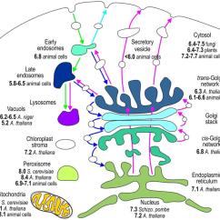 Endomembrane System Diagram Sbc 350 Wiring Of Microscope Oscilloscope Elsavadorla