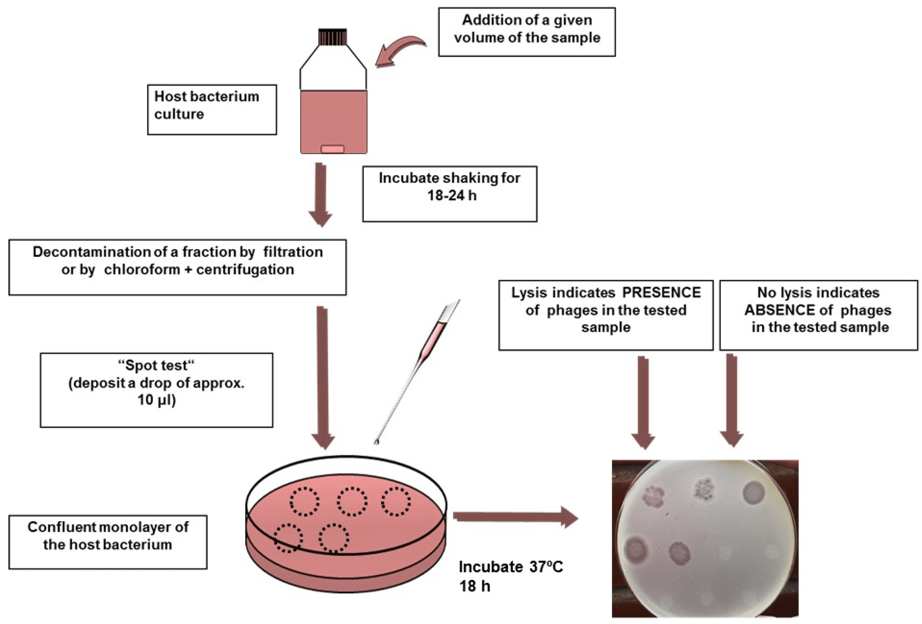 Water  Free FullText  Coliphages as Model Organisms in