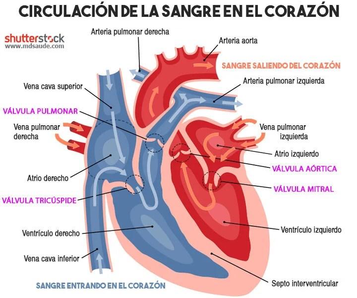 Circulación de la sangre en el corazón