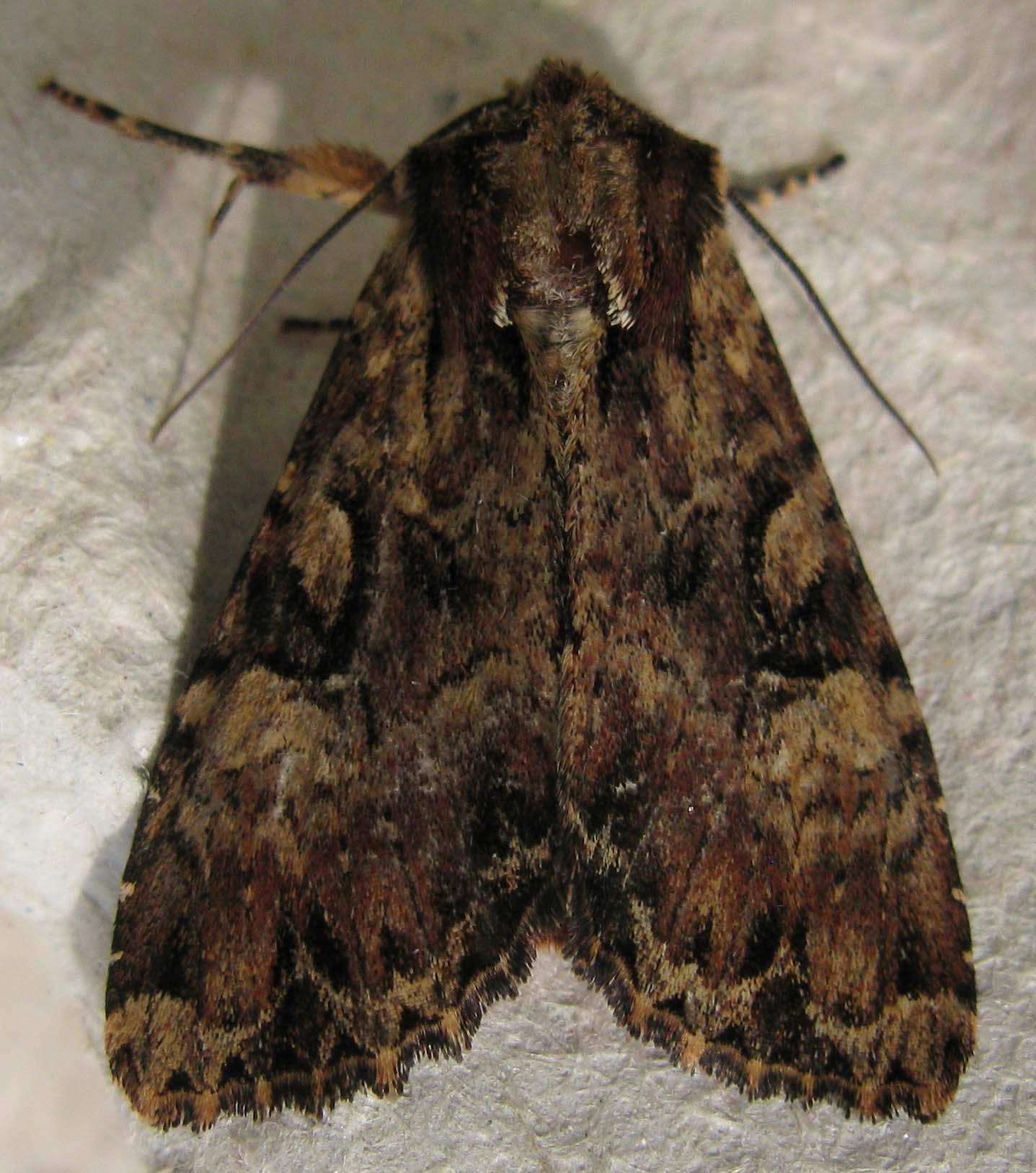Moths Found 5 June 2011