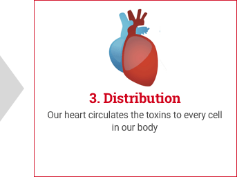 Detoxification of Body - Distribution