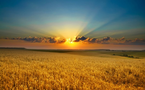 A Lughnasadh sunset with a clear deep blue sky over a golden field of grain.