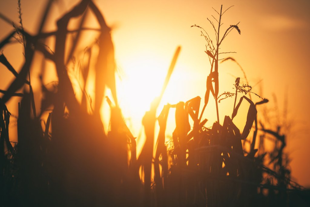 Mabon Harvest. The last sheaves of corn stand crooked in the rust colored setting sun.