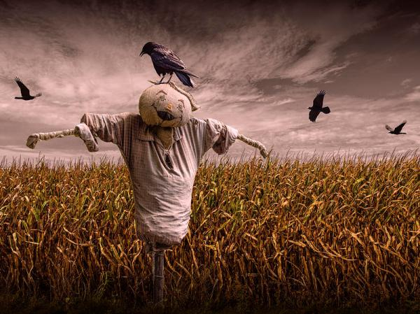 Mabon black-crows-over-a-cornfield-with-scarecrow-and-gray-sky-randall-nyhof