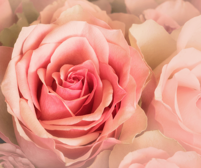 Pink luscious rose in bloom Beltane season is here! Roses are great for connecting to Taurus, Venus, and Beltane energy
