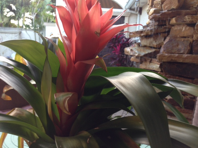 Love this real Bromeliad