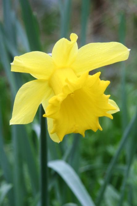 March yellow jonquil