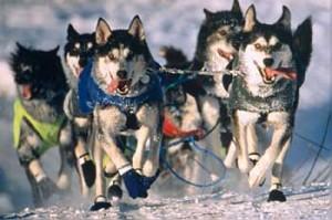Iditarod_Sled_Dog_Race
