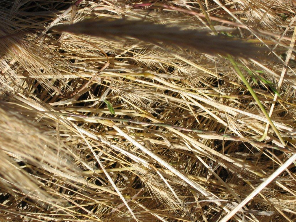 Foxtail | The Grass Awn Project