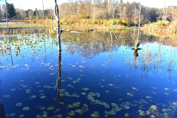 Deep blue of the beaver marsh is spotted with green lily pads and surrounded by autumn trees in Cuyahoga Valley National Park