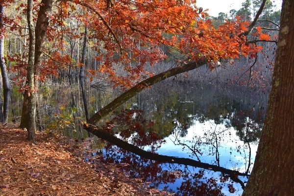 orange-leaved tree overhangs the the sinkhole pond at Santee State Park