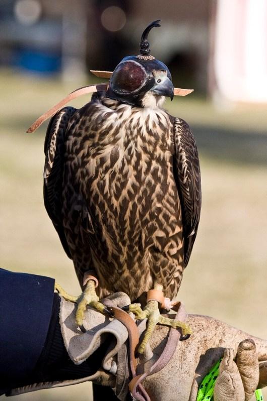 falconer6
