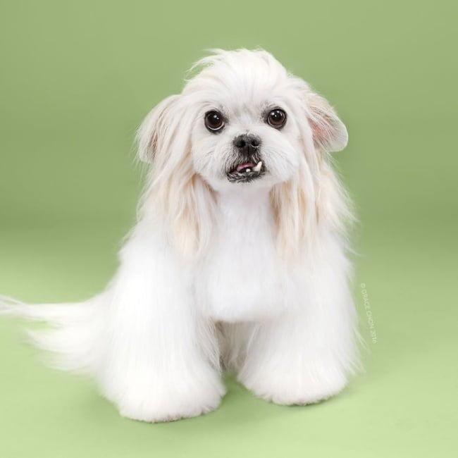 cabeleireiros-e-o-dom-de-deixar-um-cachorro-irreconhecivel10