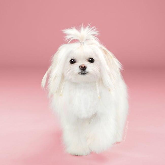 cabeleireiros-e-o-dom-de-deixar-um-cachorro-irreconhecivel16