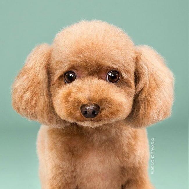cabeleireiros-e-o-dom-de-deixar-um-cachorro-irreconhecivel2