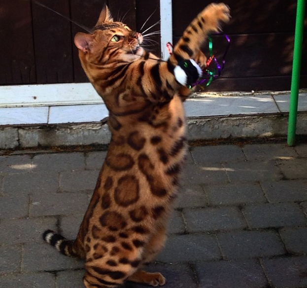 thor-o-gato-do-pelo-perfeito11