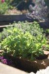 Mojito Plant -Mint
