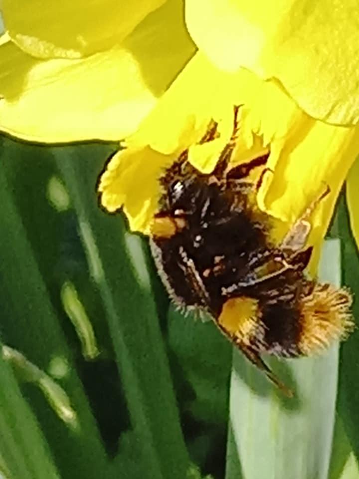 bumble bee in garden