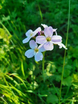 Stamullen wildflower