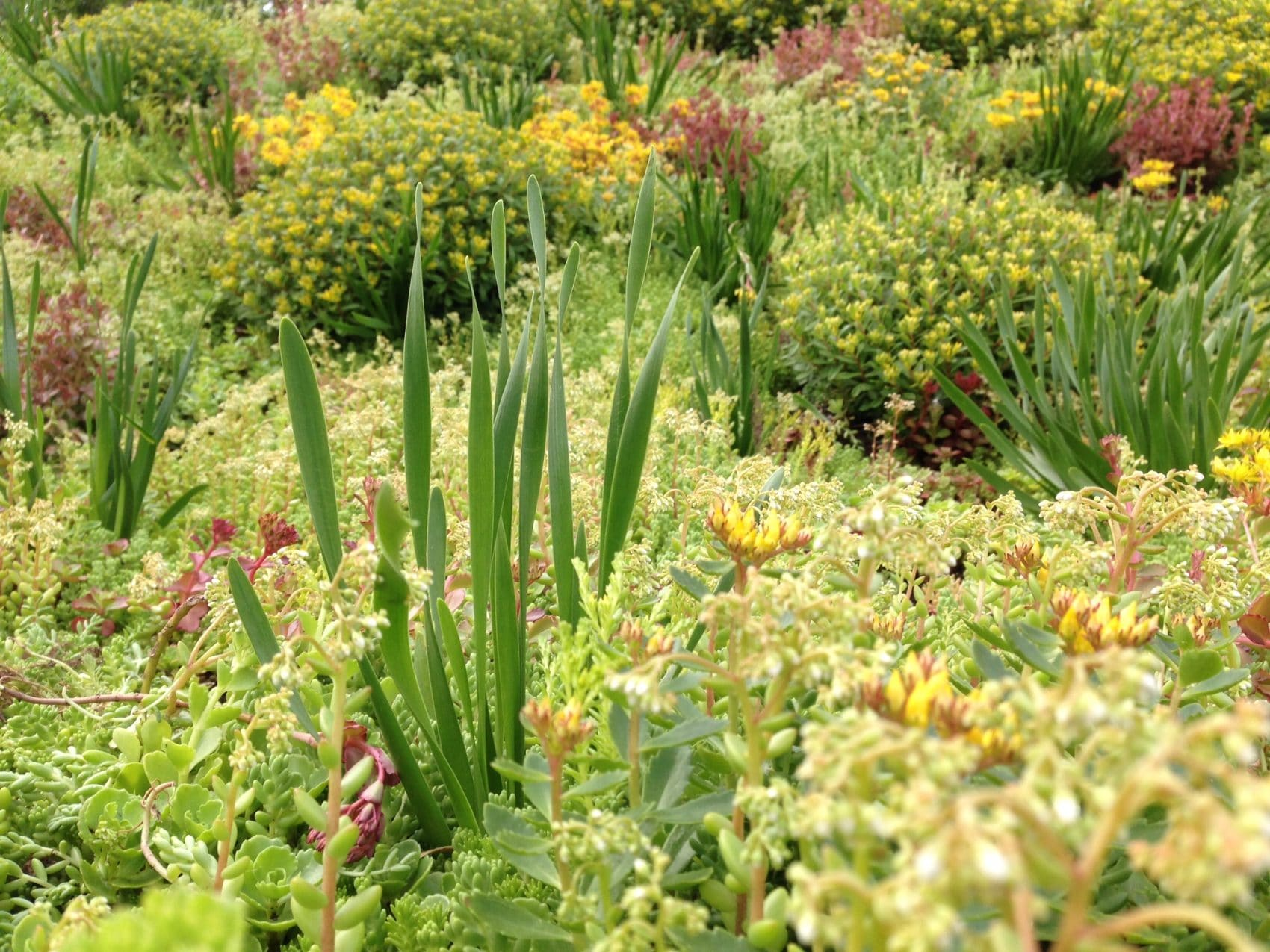 green roof plant variety