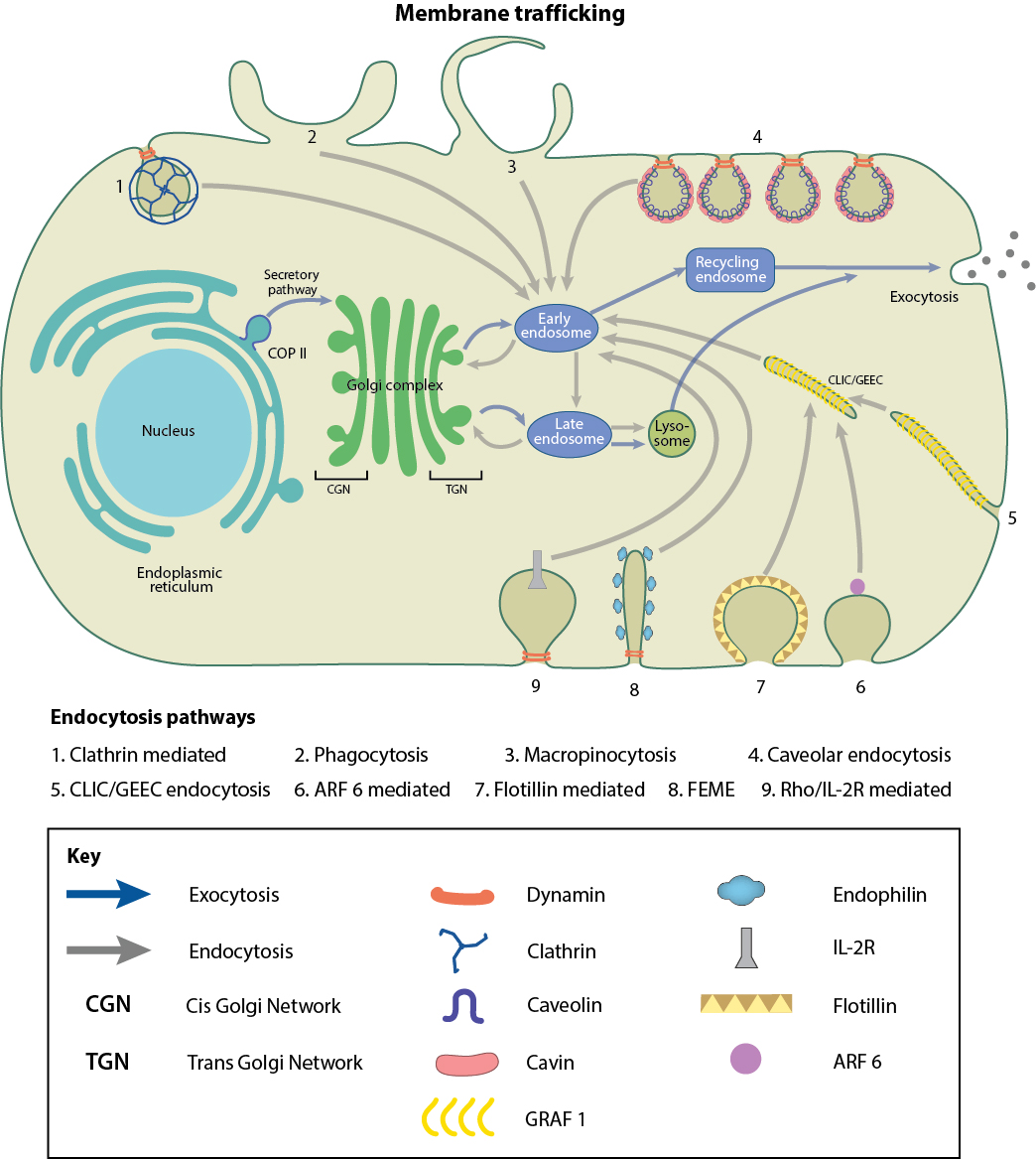 hight resolution of membrane trafficking pathways