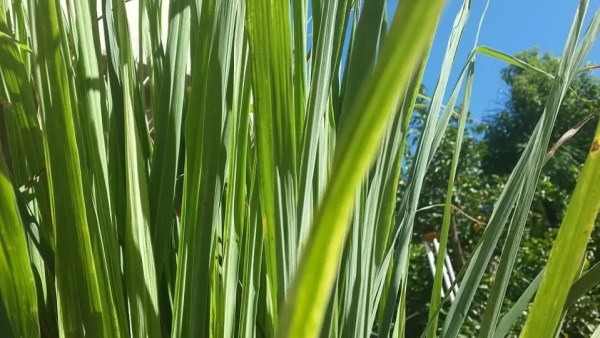 lemongrass and dryer sheets to keep bees away from pool pool care hacks