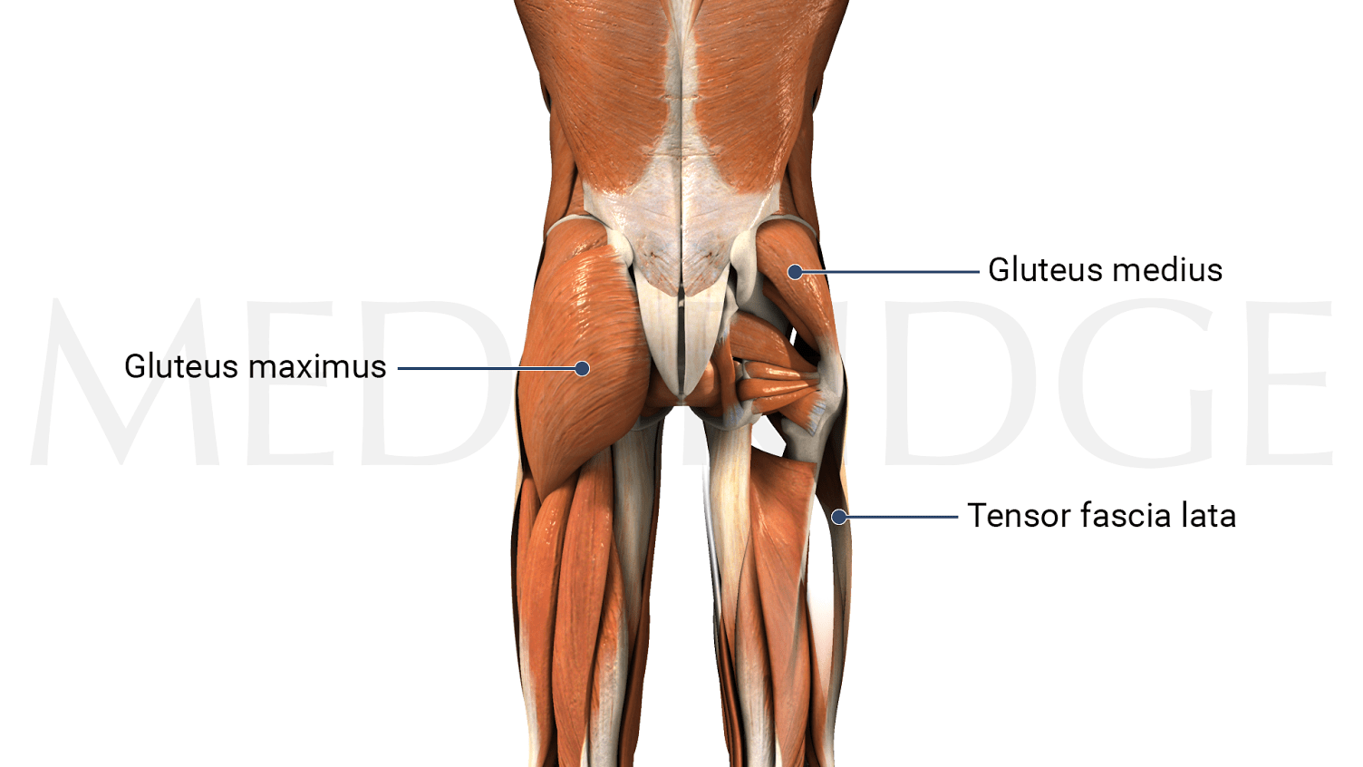 gluteus muscles diagram pain automobile wiring best exercises for the maximus medbridge blog