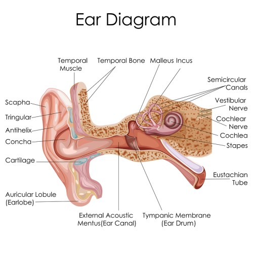 small resolution of anatomy of the ears and tmj