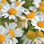 Remèdes naturels conseillés pour la migraine