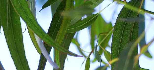 Remèdes naturels conseillés pour la coqueluche