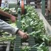 Tekort aan personeel bij pioenkwekers, dan maar weer Polen inhuren