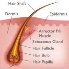 Anatomy and Physiology of Hair  MedExpress Blog